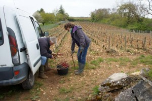 Chenu working vineyard